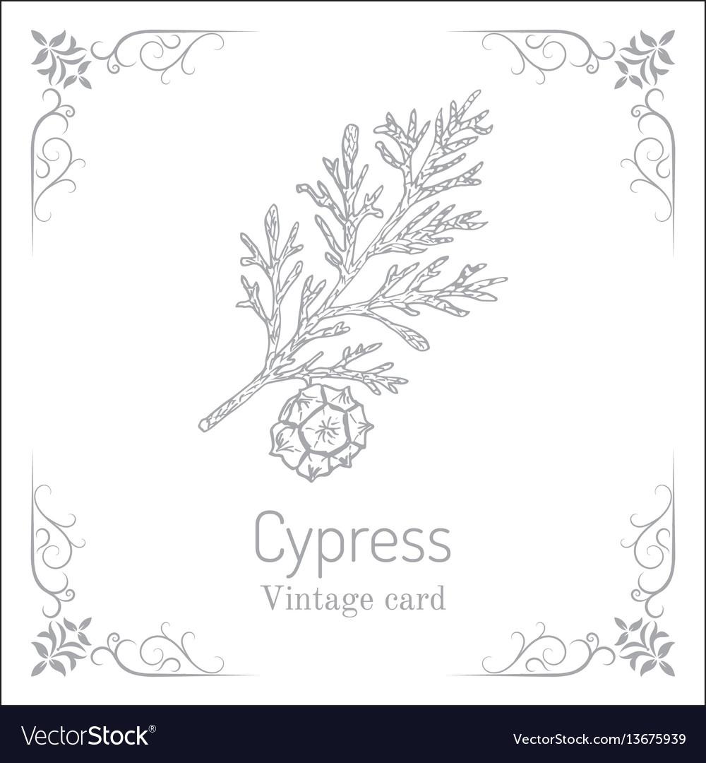 Mediterranean cypress branch cupressus vector image