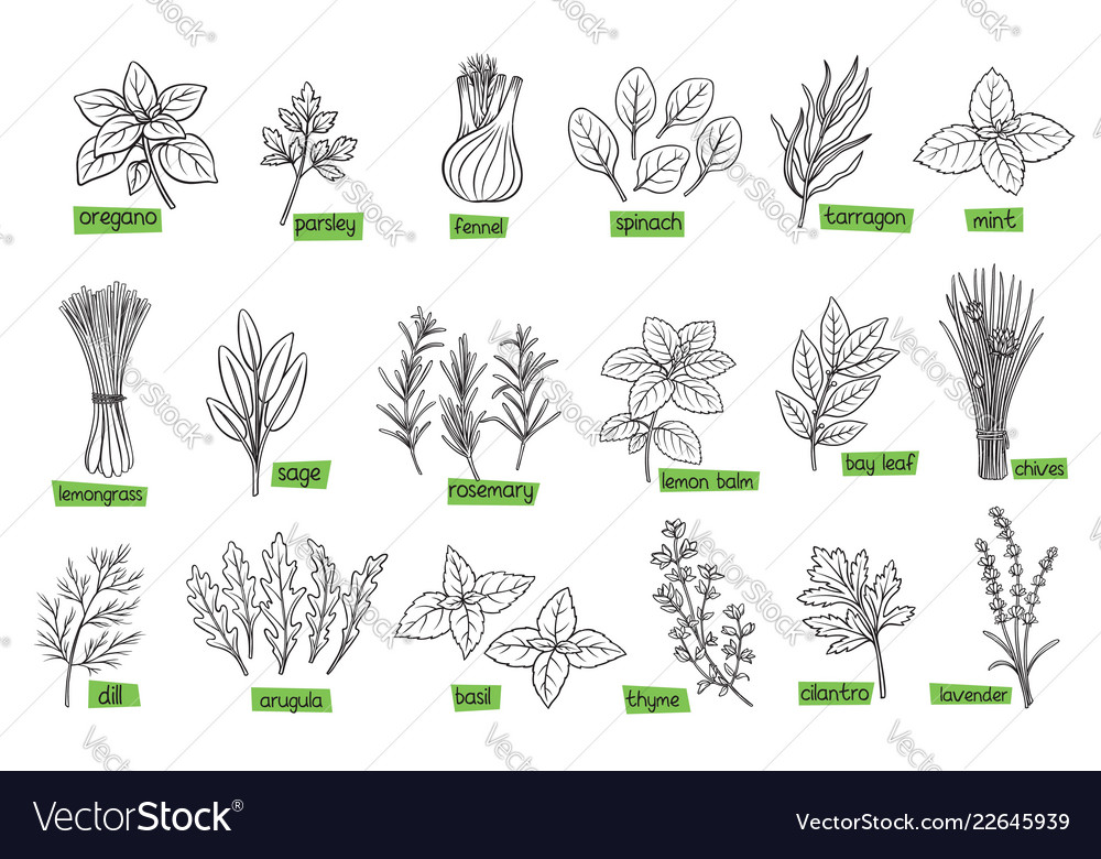 Popular culinary herbs