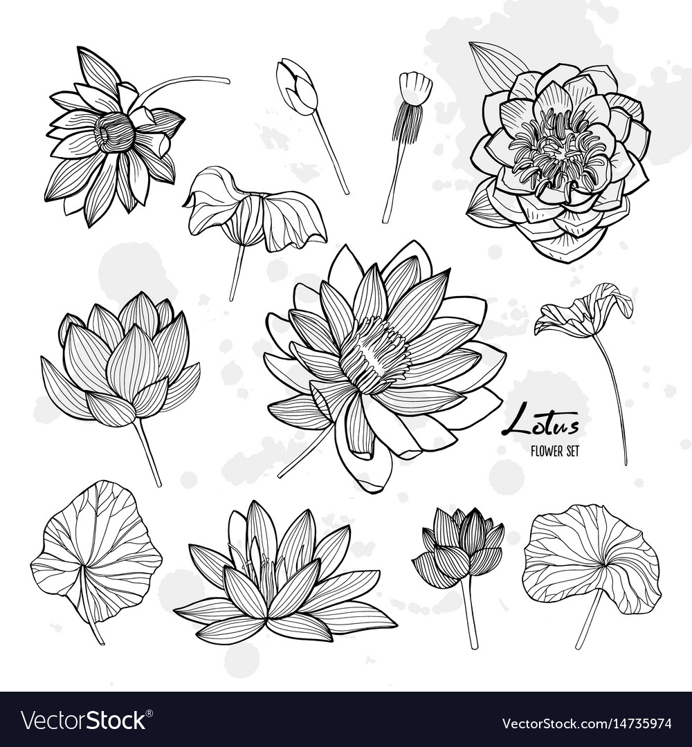 Set of lotus flower in different views bloomed vector image mightylinksfo
