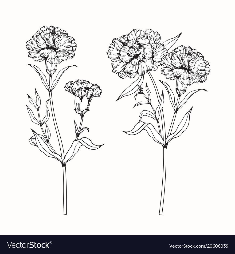 Carnation Flower Drawing - Flowers Ideas For Review  Carnation Flowe...