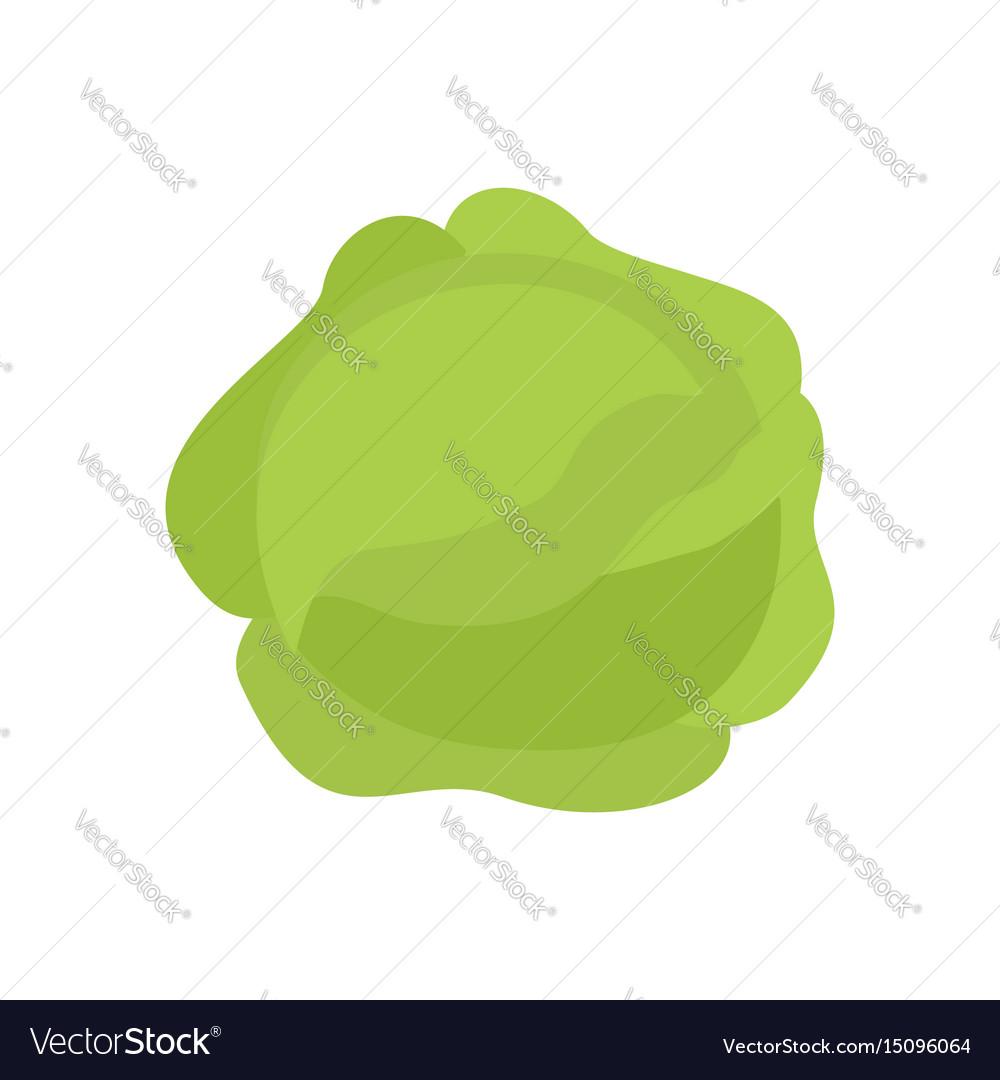 Cabbage isolated kale on white background useful vector image