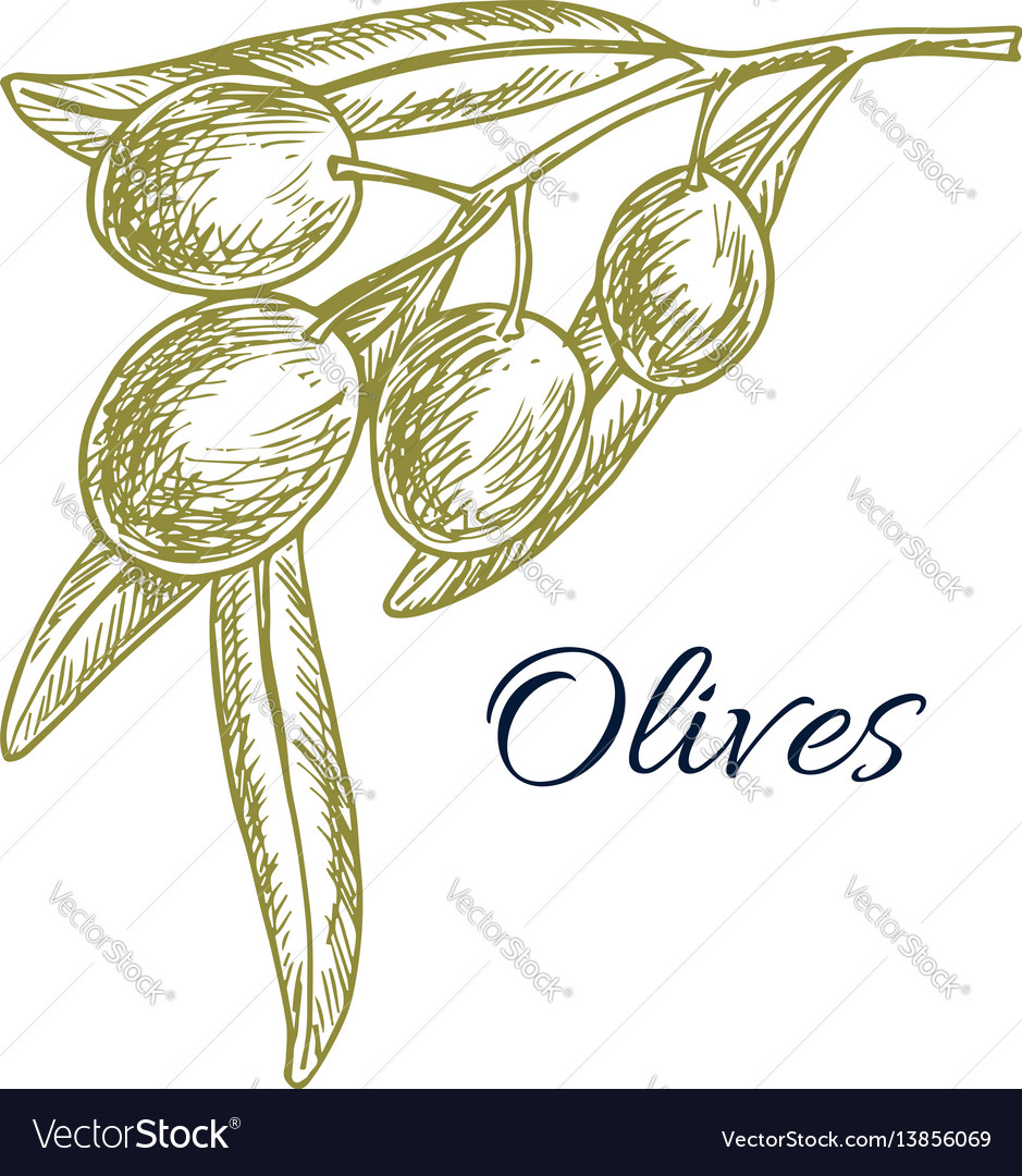 Green olive branch sketch for organic food design