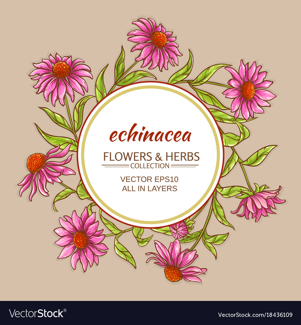 Echinacea frame vector image