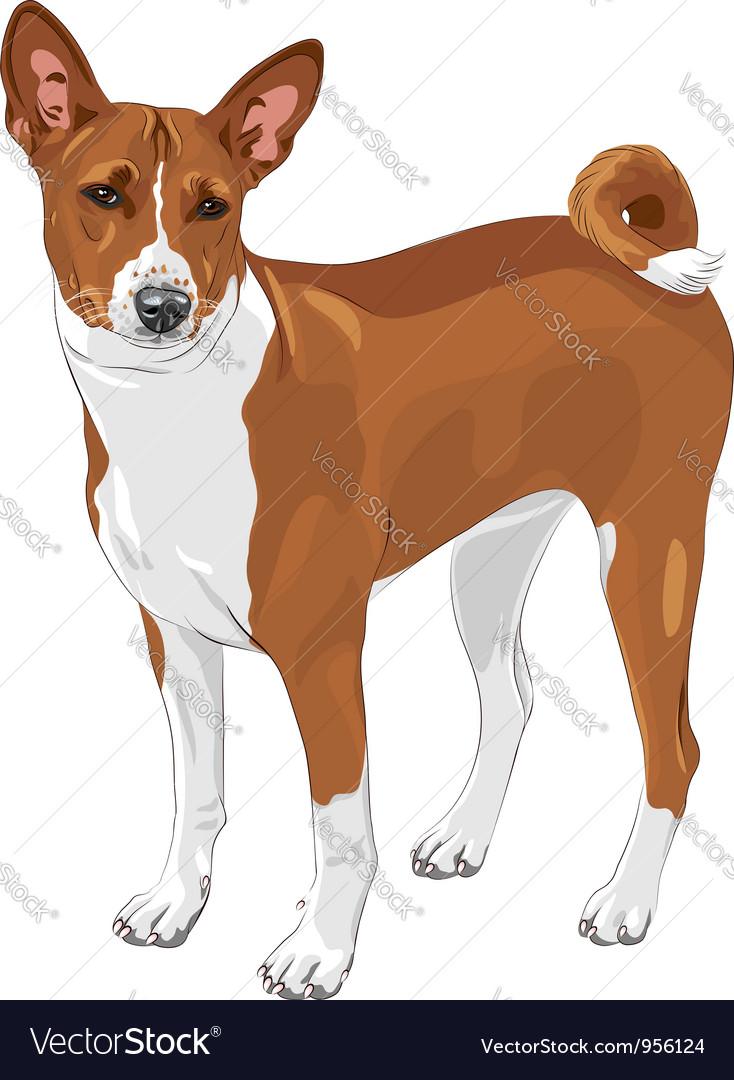 Basenji hunting dog