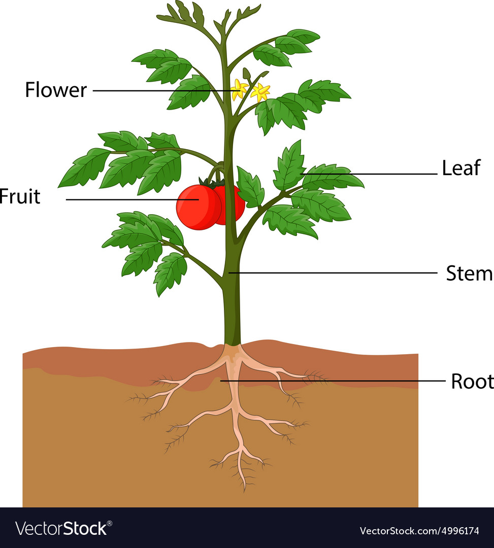 showing the parts of a tomato plant royalty free vector