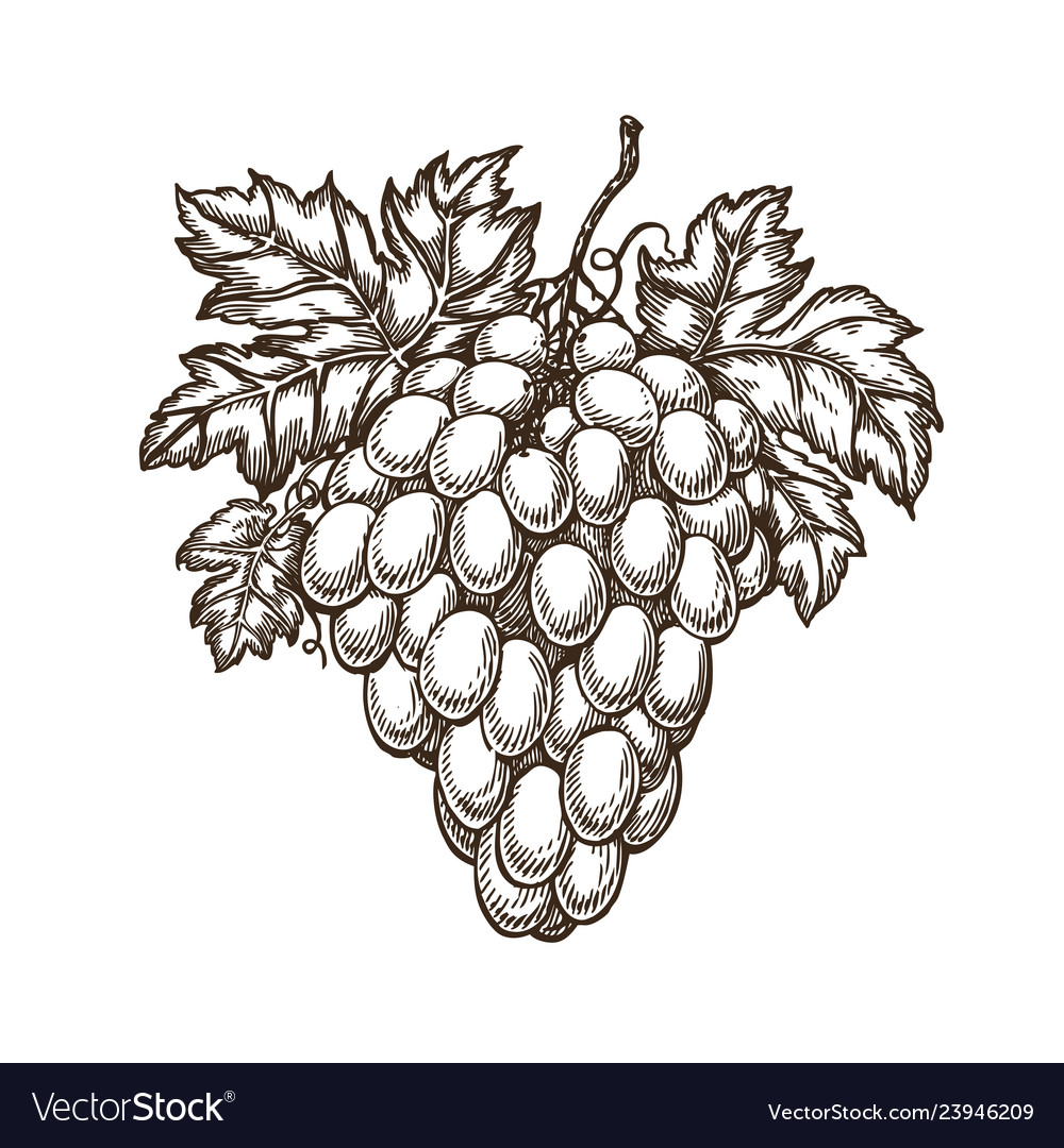 Drawn branch of grapes with leaves vineyard