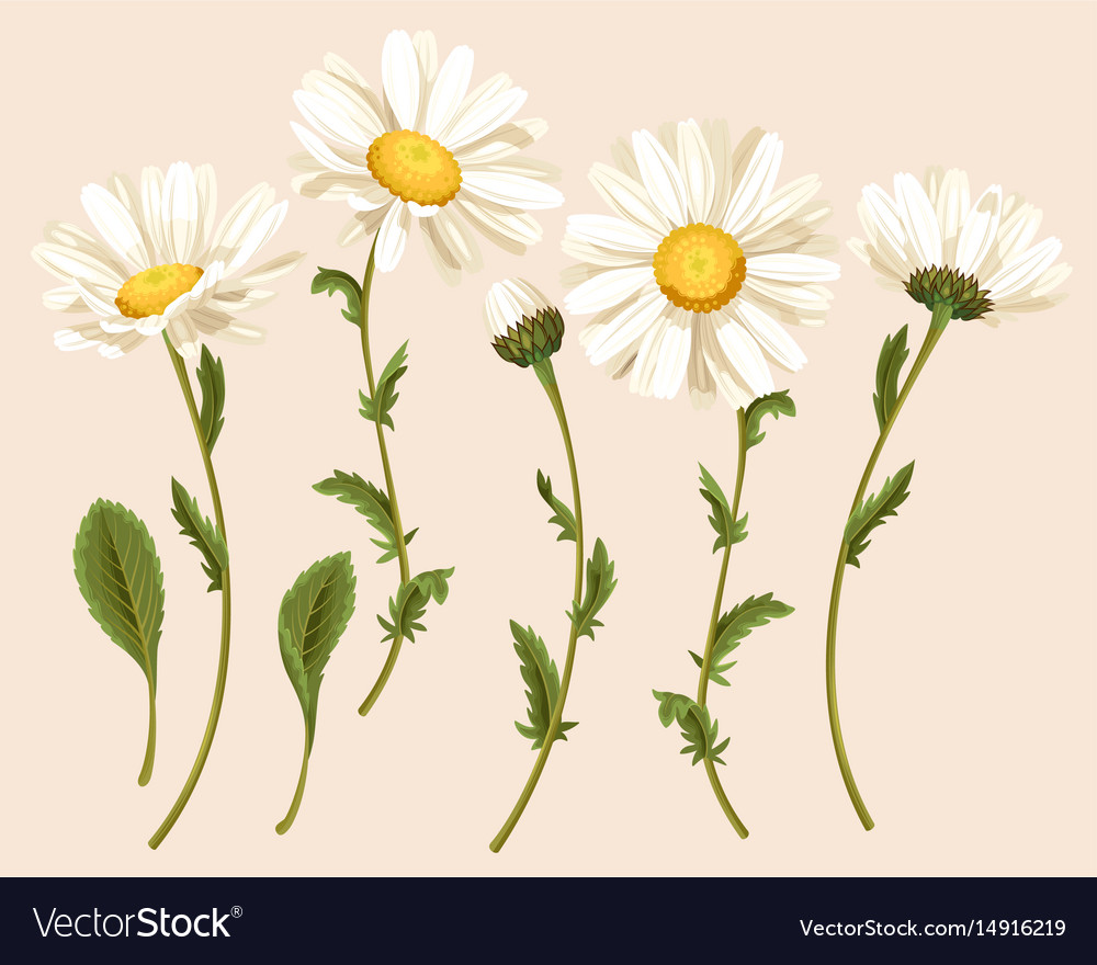 Set of camomiles vector image