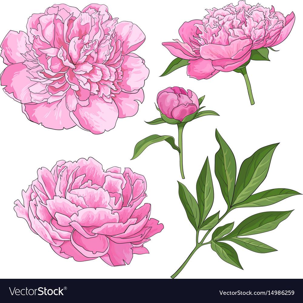 Peony Flowers Bud Leaves Hand Drawn Sketch Vector Image