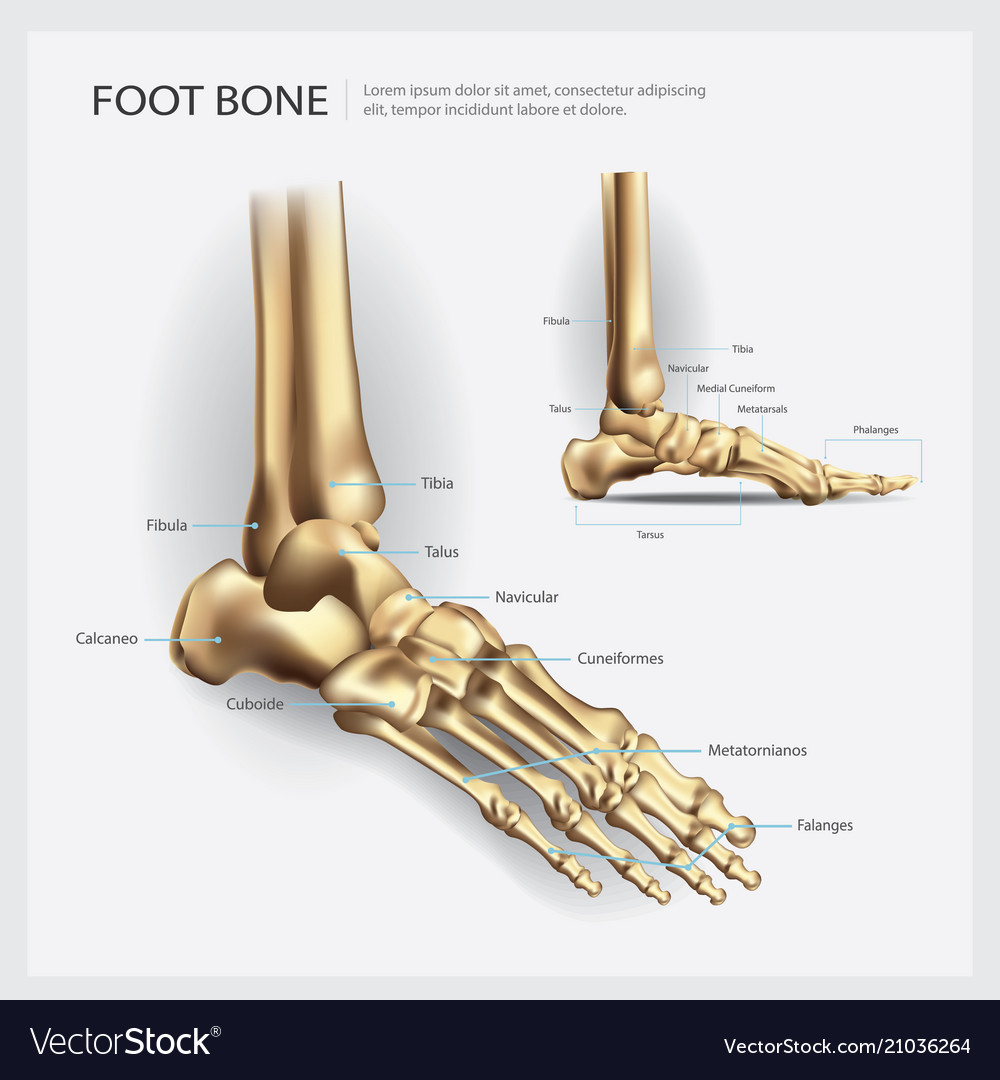 Foot bone anatomy Royalty Free Vector Image - VectorStock