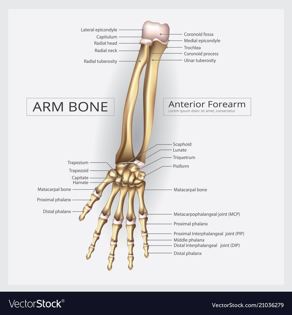 Forearm Bone Vector Images 47