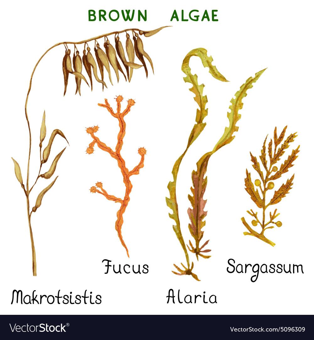 Brown algae vector image