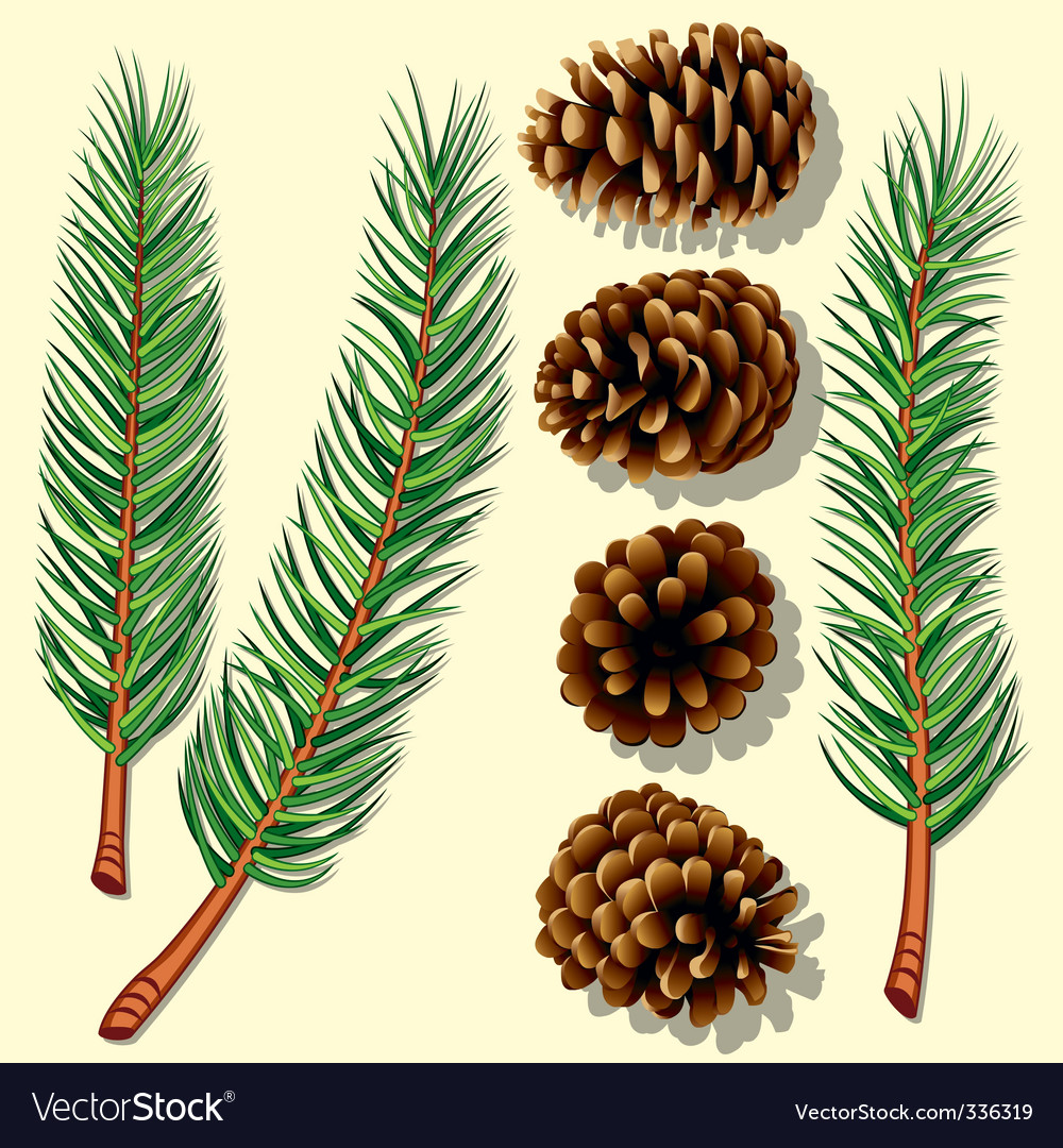 Pine tree branches and cones vector image