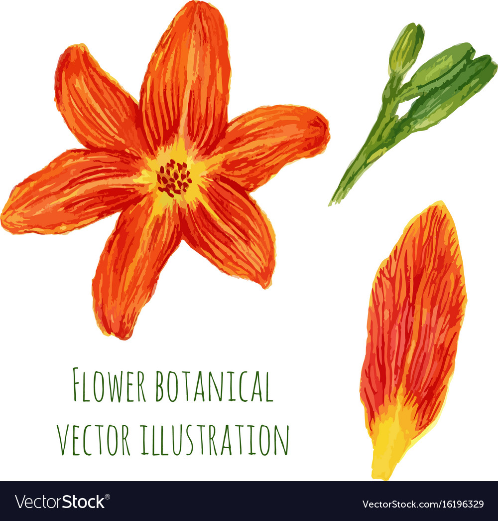 Beautiful Watercolor Flowers Orange Lilies With Vector Image