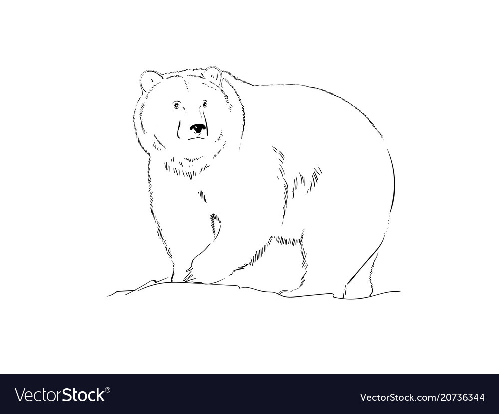Black and white realistic drawing of a bear vector image