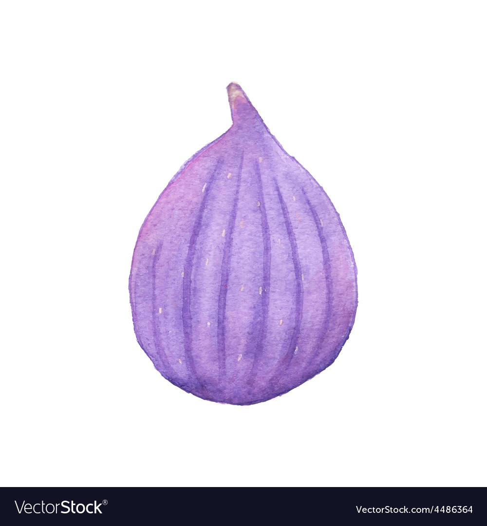 Watercolor fig on the white background aquarelle vector image