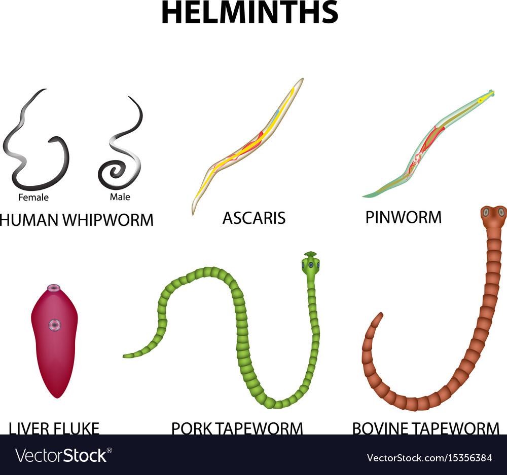 hymenolepidosis fejlesztési ciklus gyógyszerek a pinworms ellen