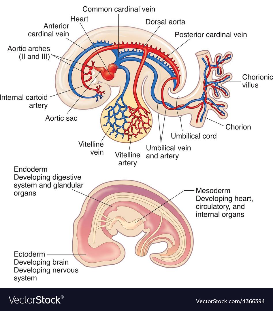 Berühmt Brain Circulation Anatomie Fotos - Anatomie Ideen - finotti.info