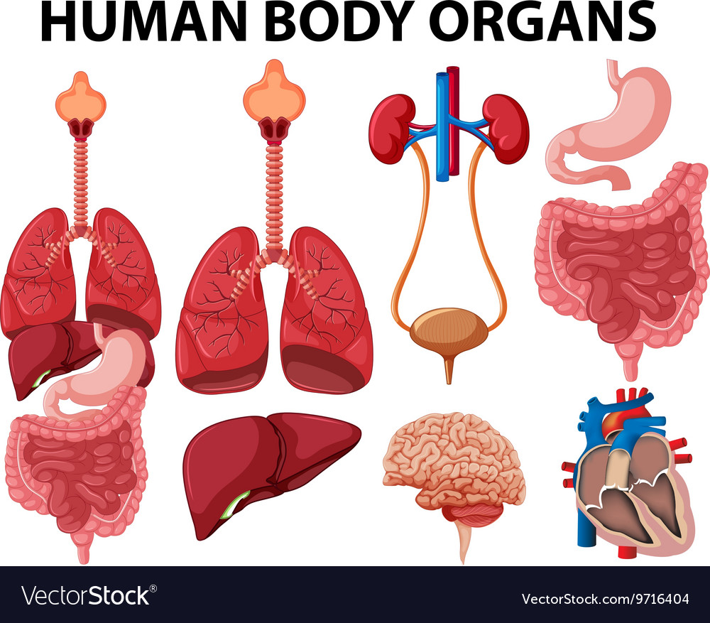 Different type of human body organs Royalty Free Vector
