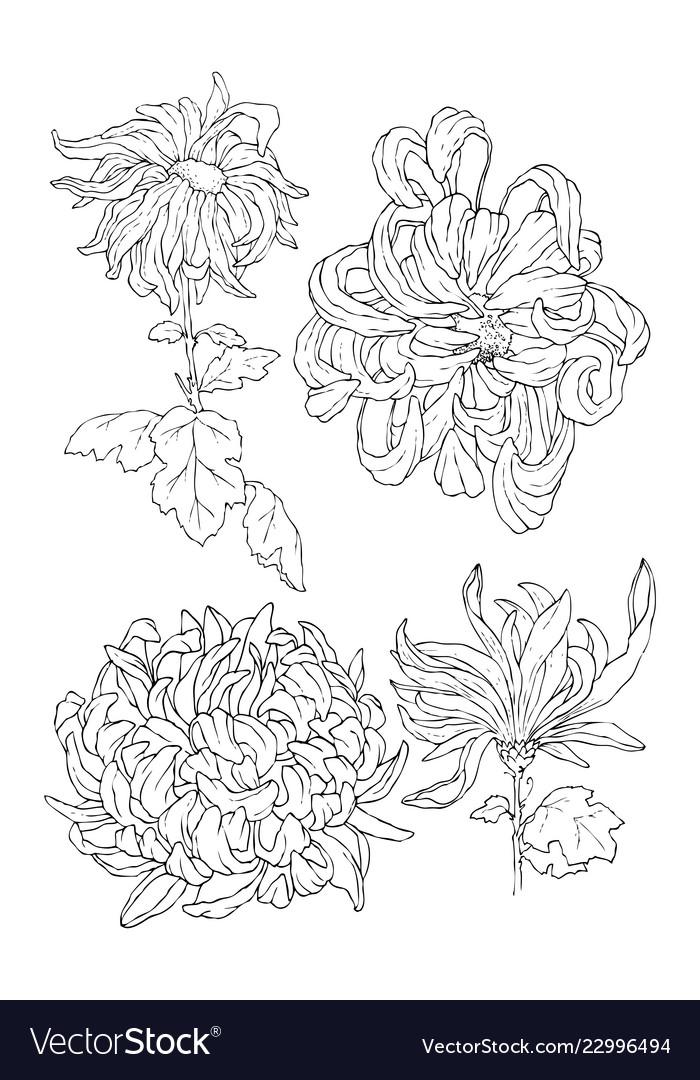 Chrysantemum Line Art For Coloring Book Or Tattoo
