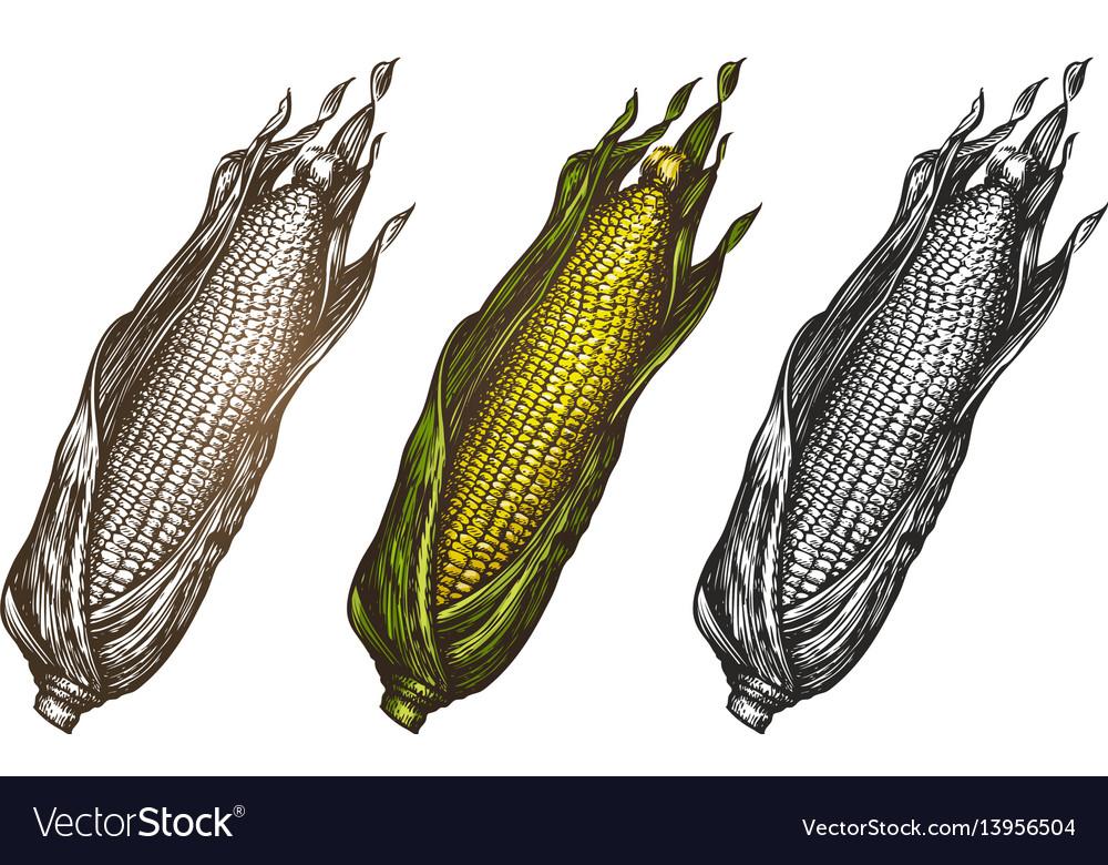 Hand drawn corn food sketch vector image