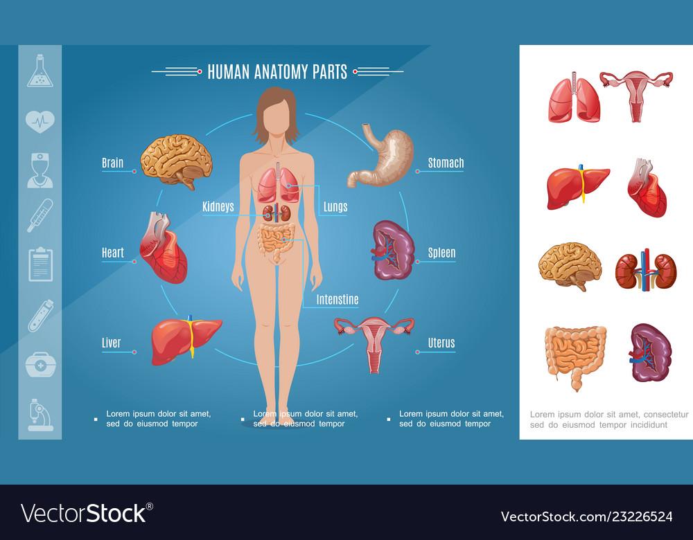 Cartoon woman body organs concept