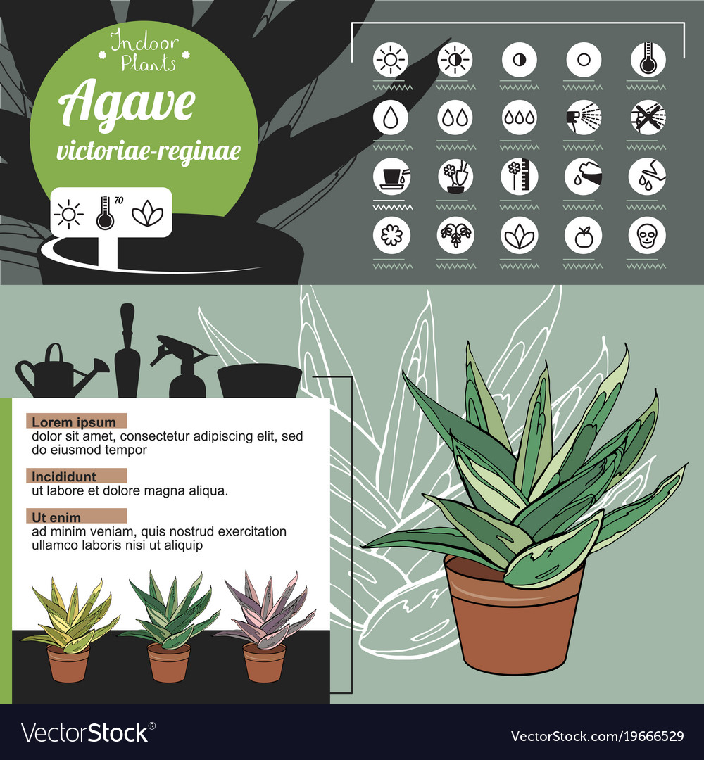 Template for indoor plant agave tipical flowers