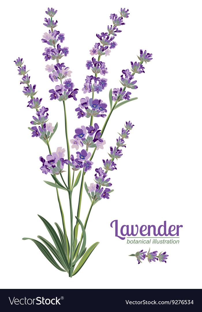 Lavender flowers elements Botanical