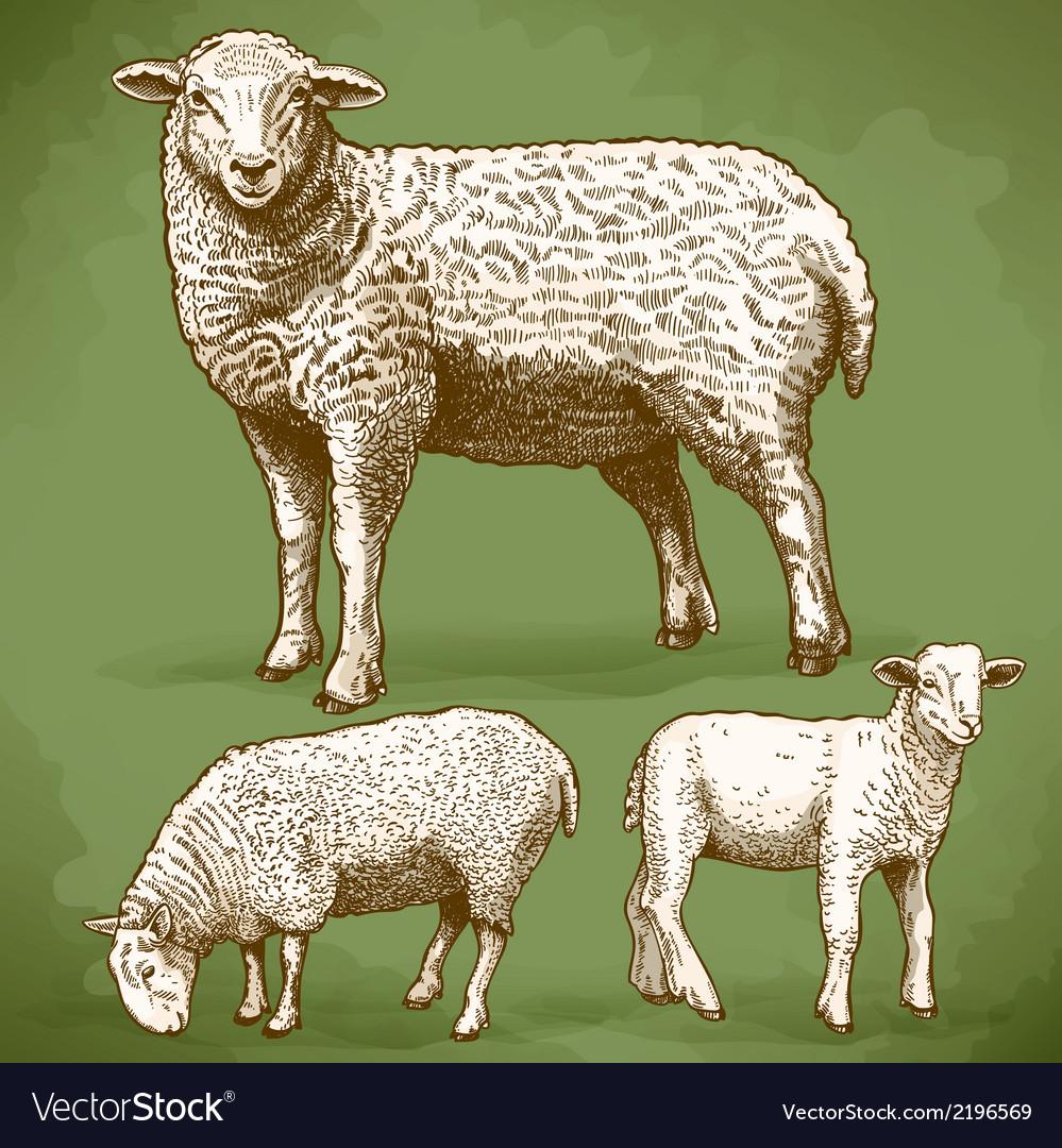 Engraving sheeps retro