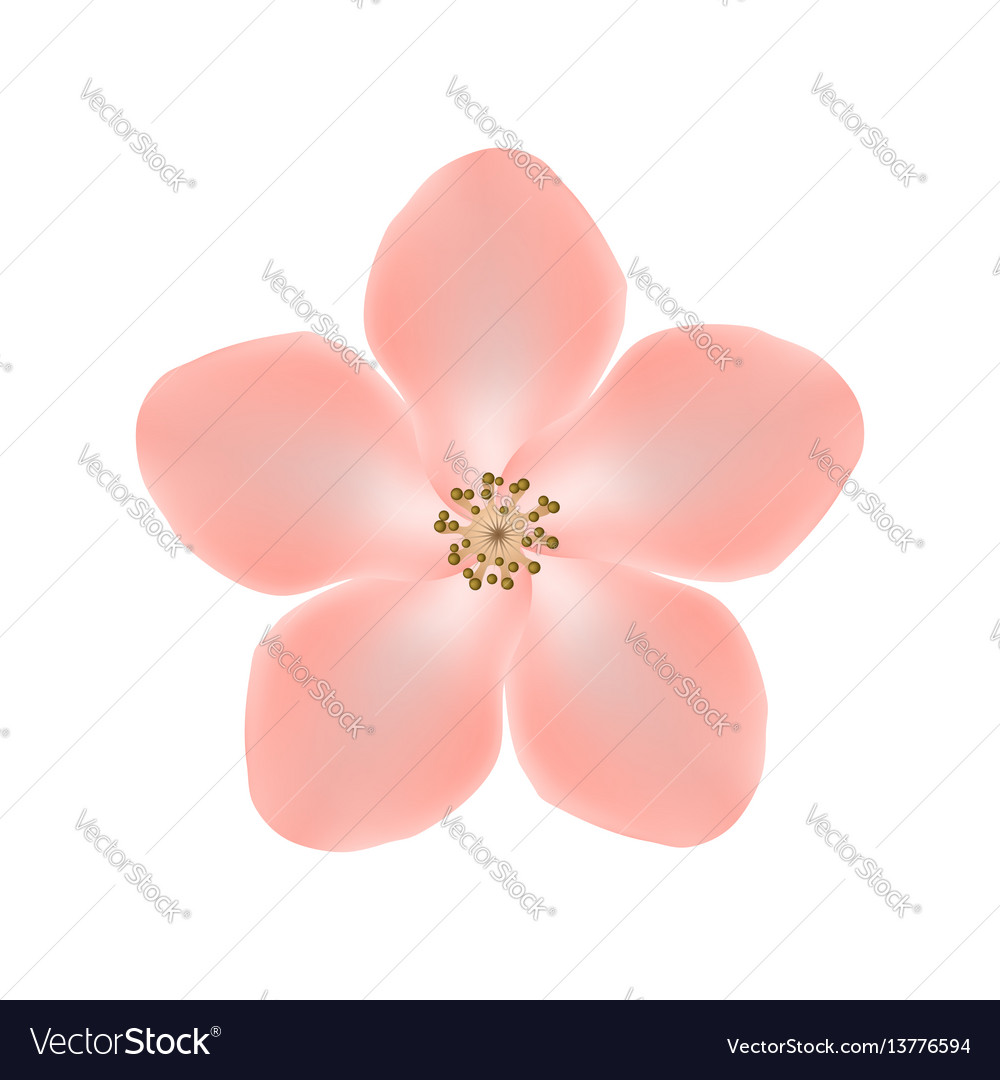 Sakura flower isolated on white background eps10 vector image mightylinksfo