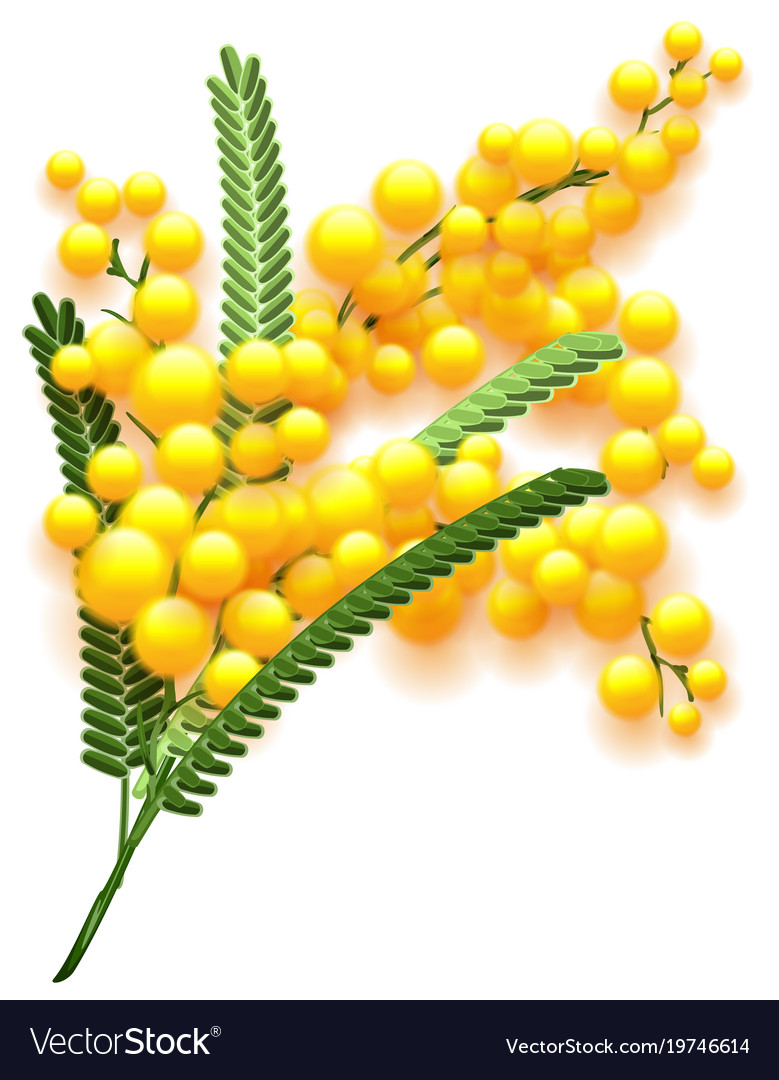 Yellow mimosa flower branch on white background vector image mightylinksfo