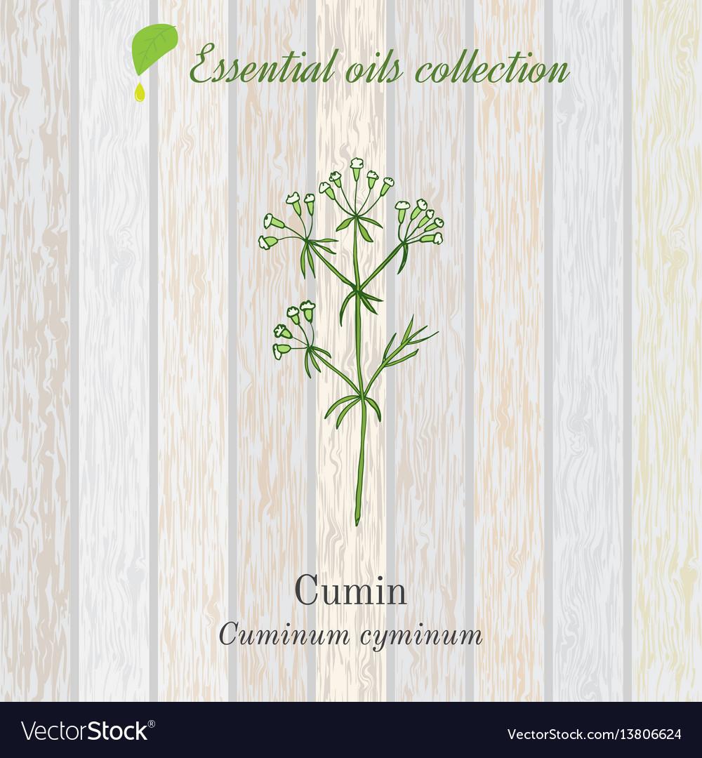 Cumin essential oil label aromatic plant