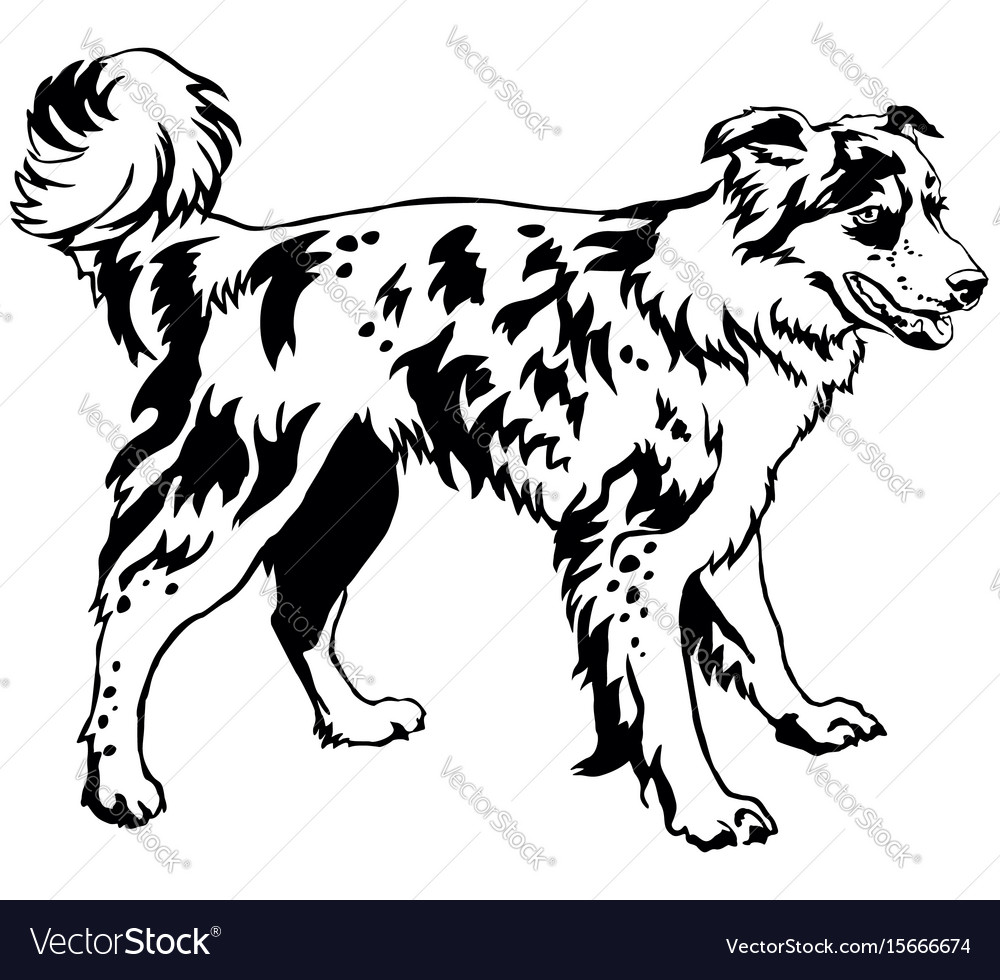 Decorative standing portrait of dog border collie
