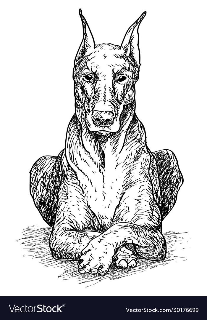 Doberman hand drawing sitting dog grap