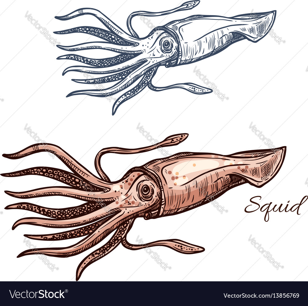 Squid marine animal sketch for seafood design