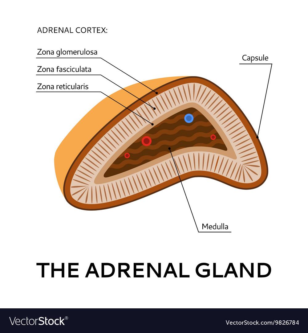 diagram of adrenal glands wiring diagramadrenal, medulla \\u0026 gland vector images (16)diagram of adrenal glands