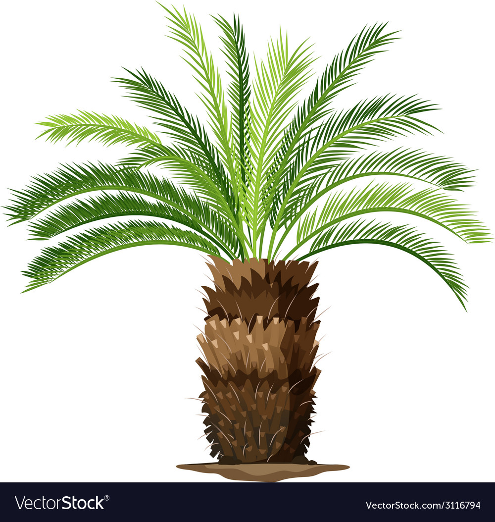 A topview of a sago palm plant