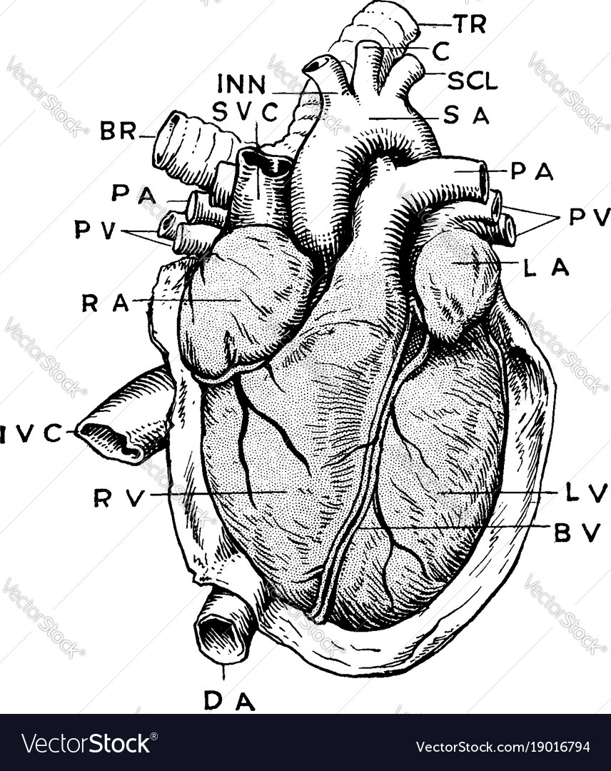 Anatomy Of Heart Vintage Royalty Free Vector Image