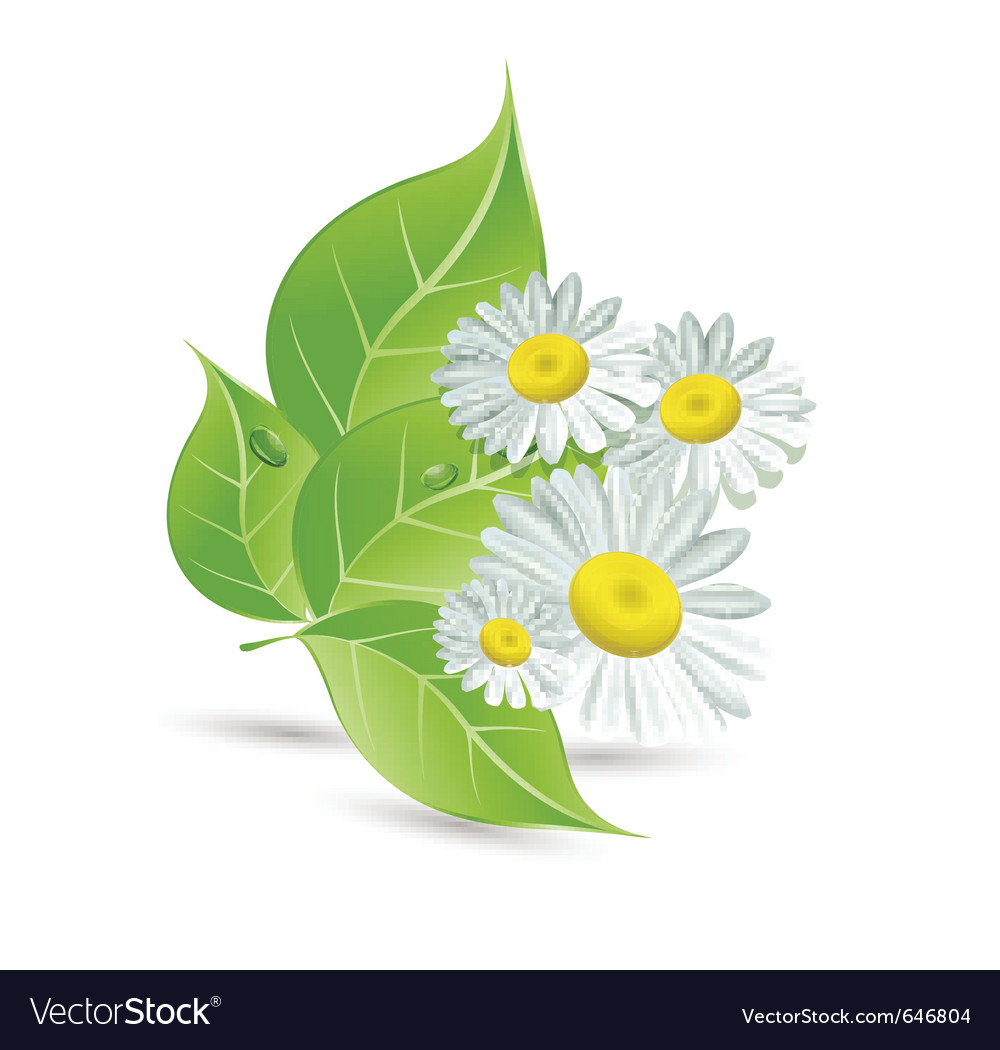Daisies And Green Leaves Royalty Free Vector Image