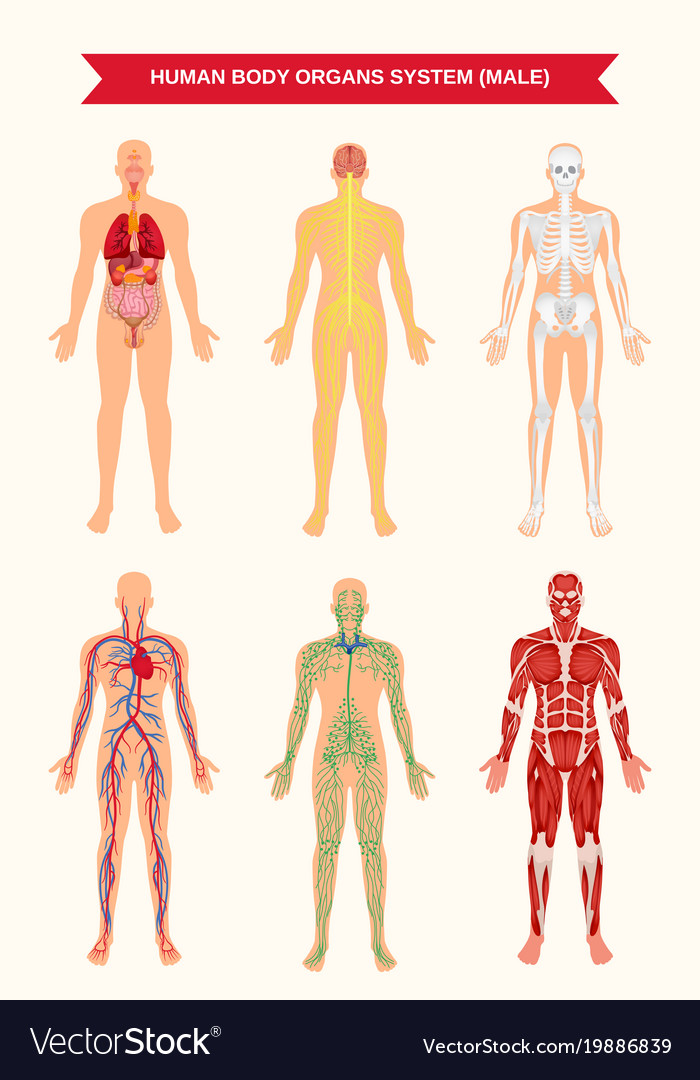 Male body organ systems poster Royalty Free Vector Image