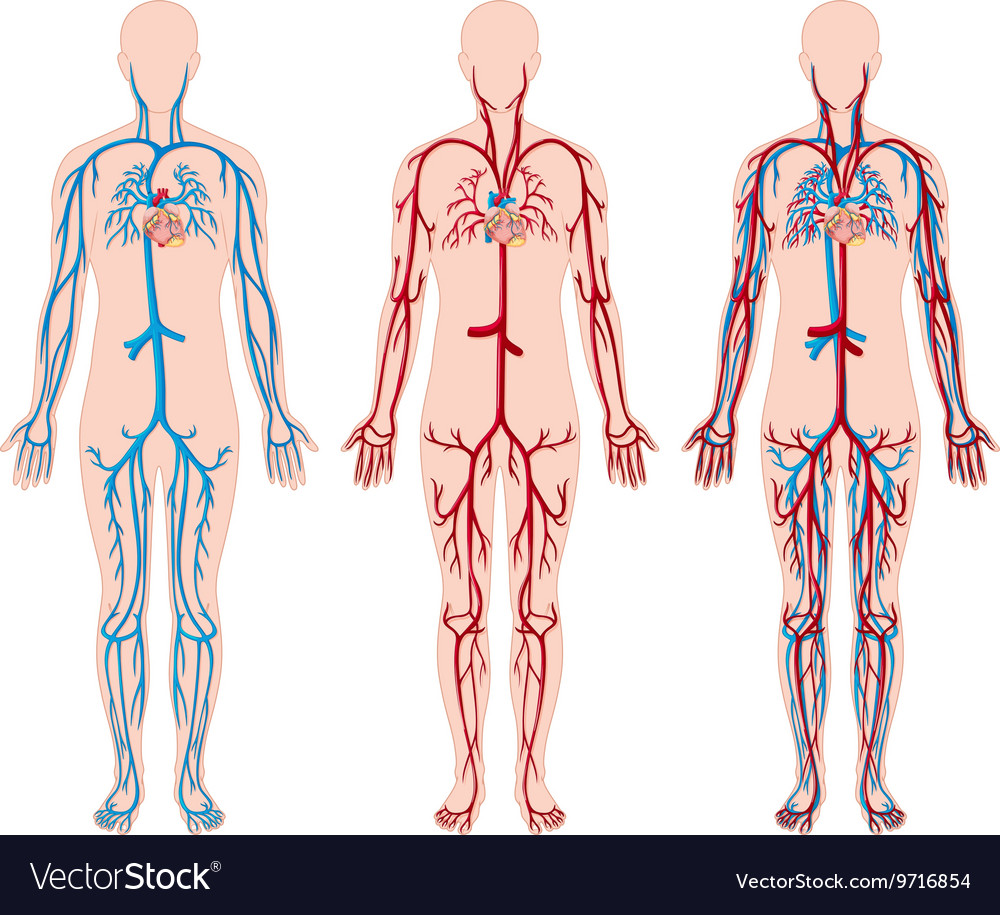 blood vessels of the body