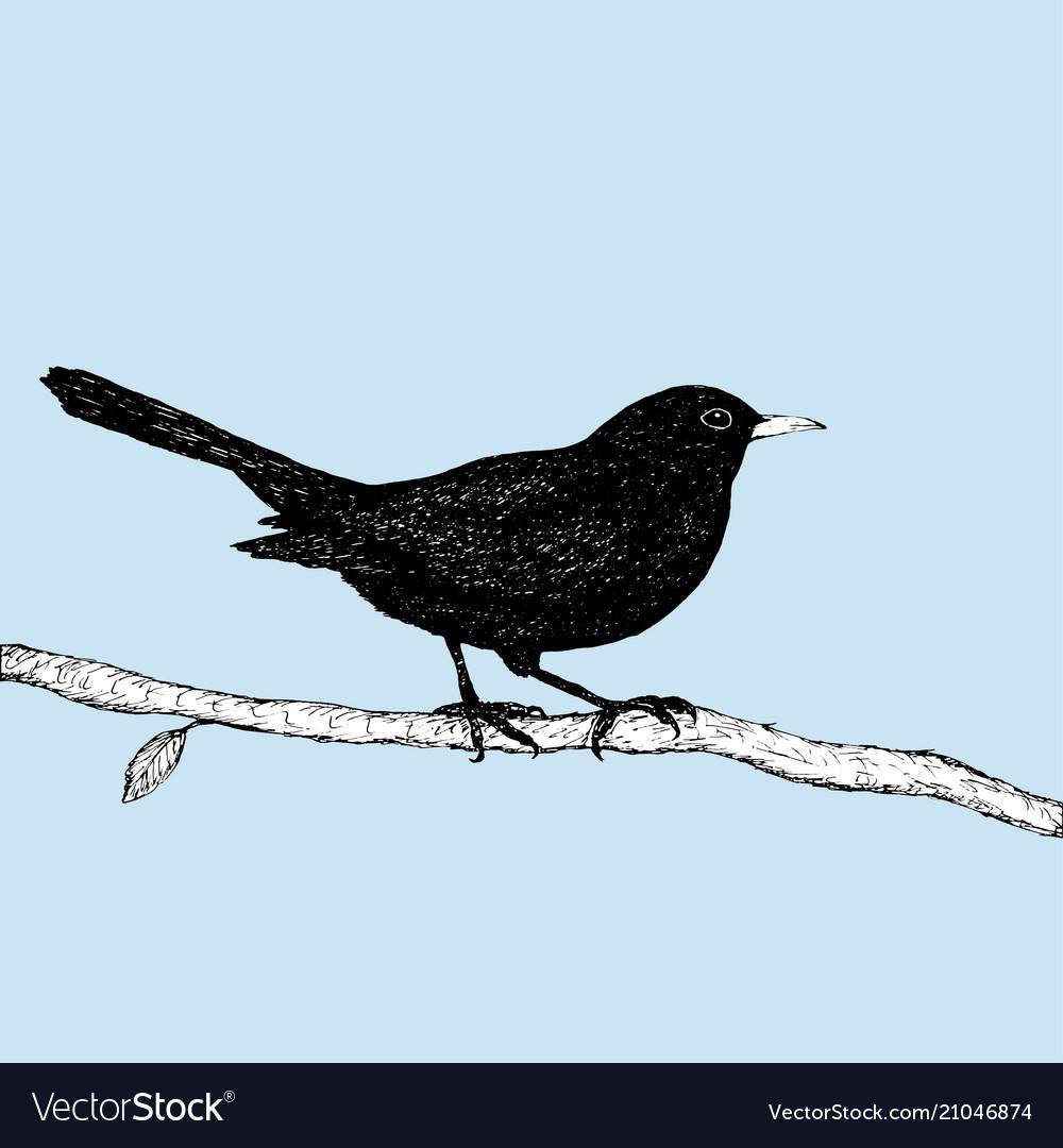 Blackbird Pen Drawing
