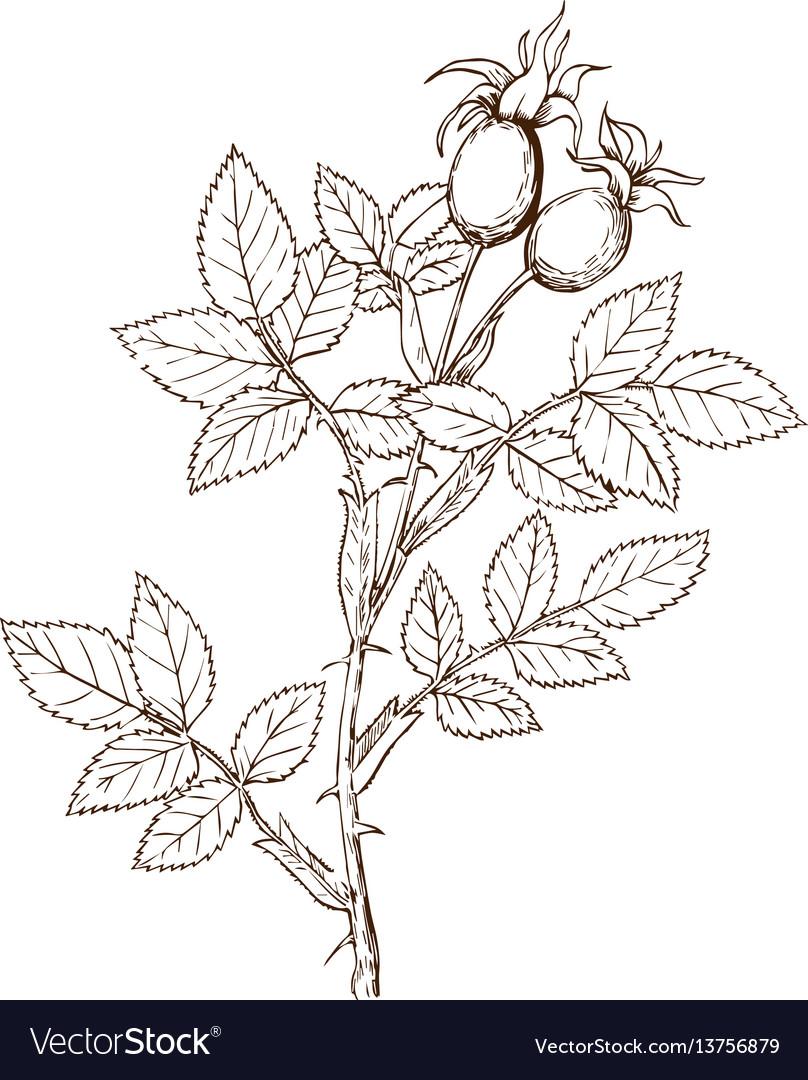 Rosa frutettorum