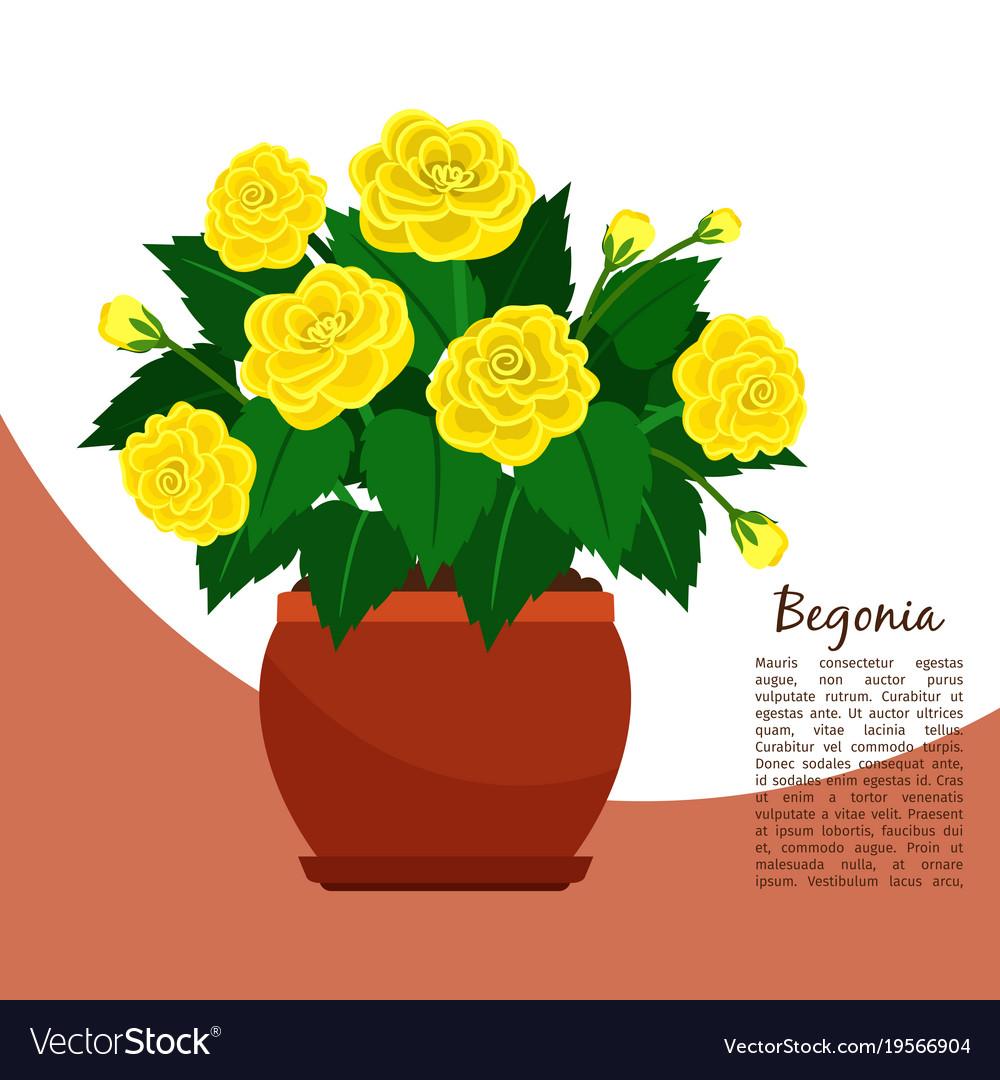 Begonia indoor plant in pot banner