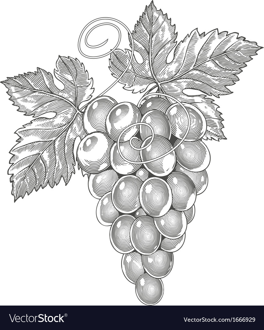 Grape in vintage engraved style