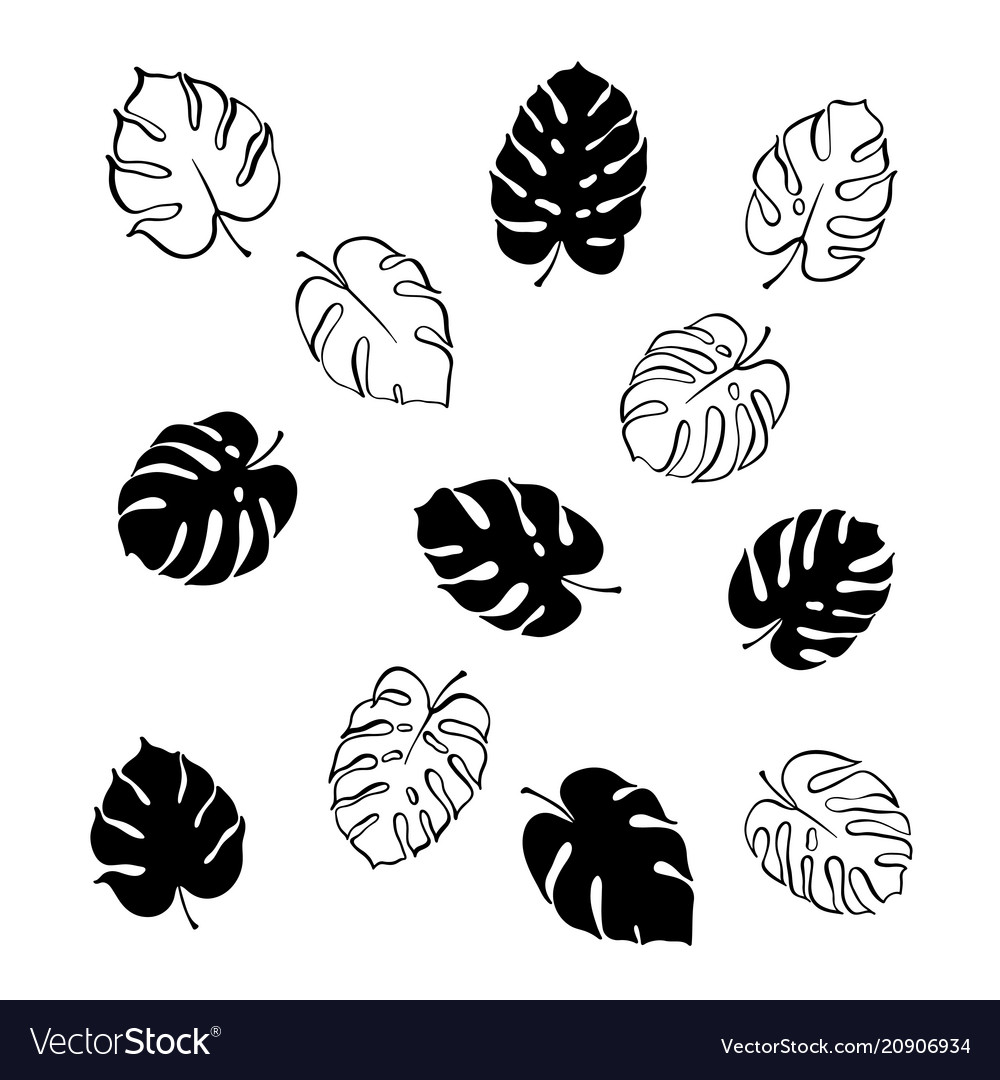Monstera leaves vector image