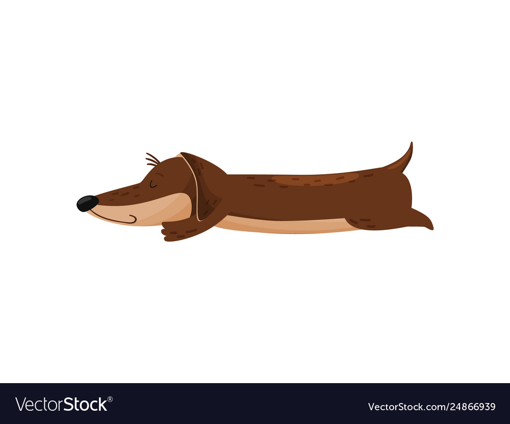 Sleeping cute dachshund on white background doggy vector image