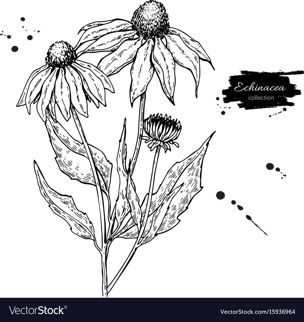 Calendula drawing isolated medical flower