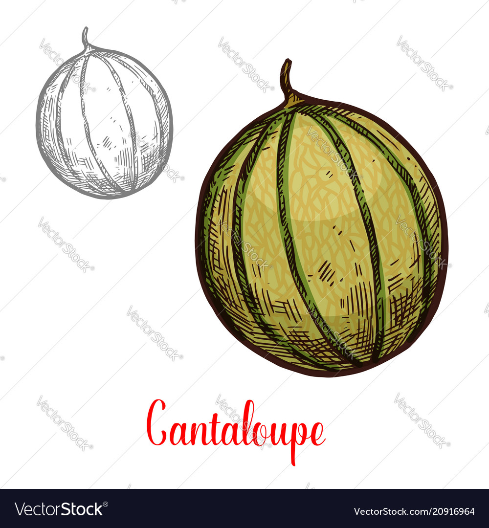 Cantaloupe fresh exotic fruit