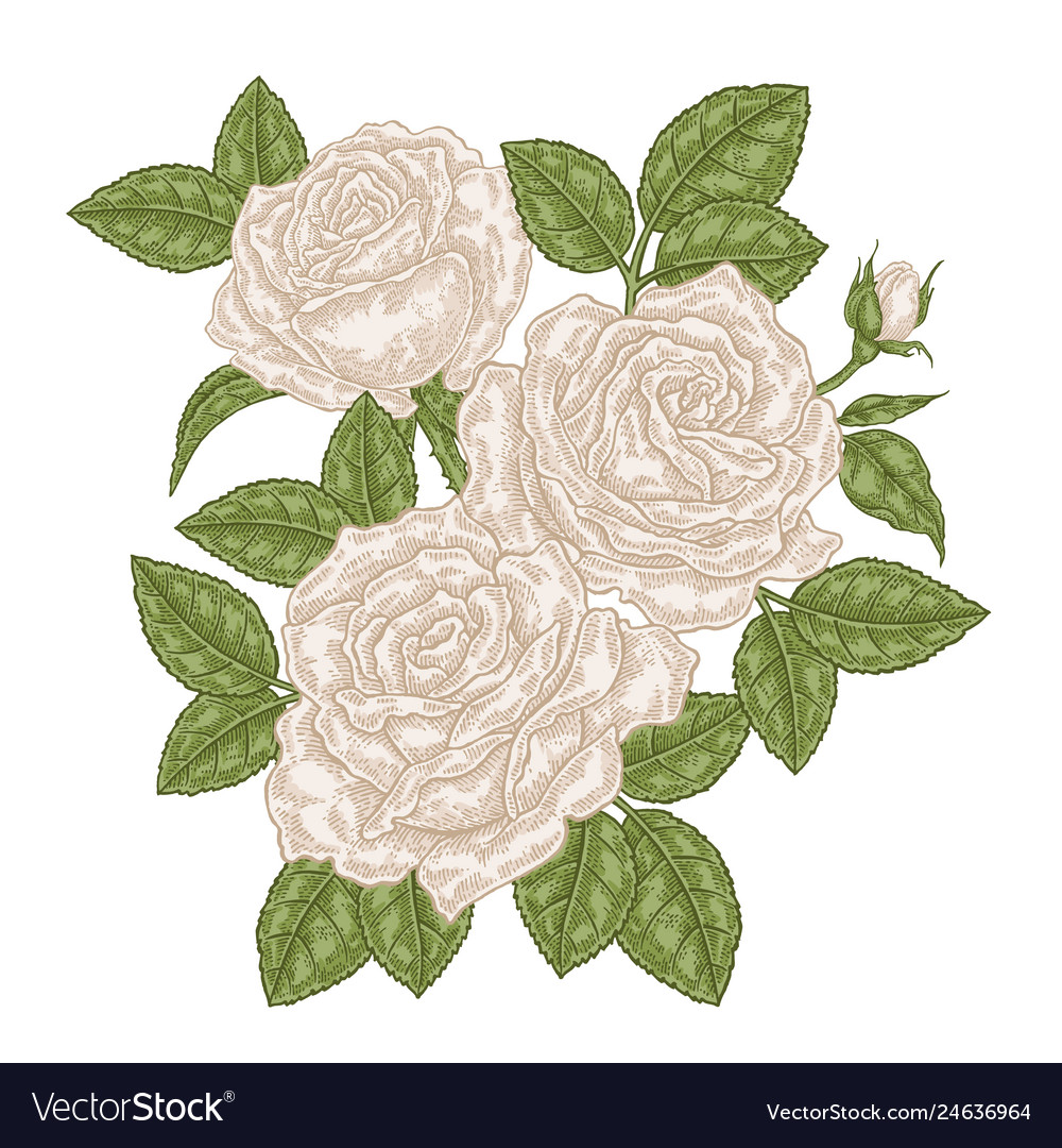 Hand drawn white roses flowers and leaves vintage