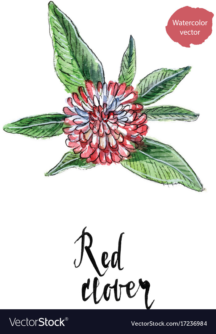 Single Flower Of Red Clover In Watercolor Vector Image